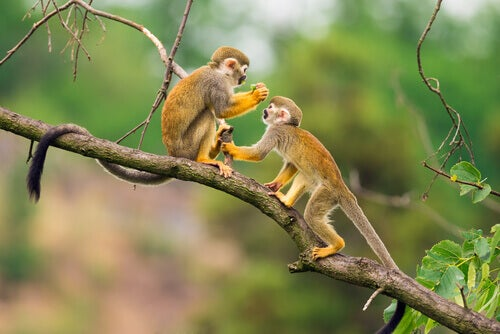 Squirrel monkey: habitat.