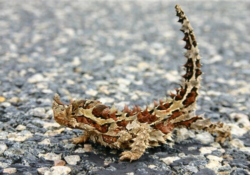 The thorny devil of the Australian fauna.