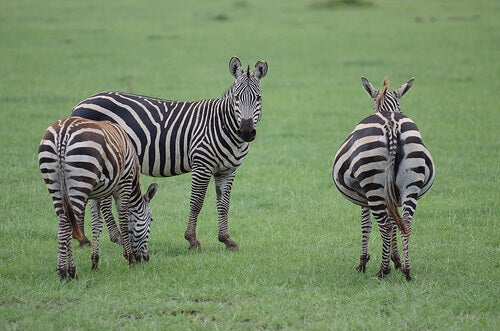 A group of zebras in a pasture.