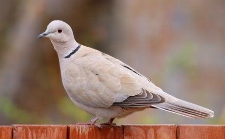 Turkish turtle dove.