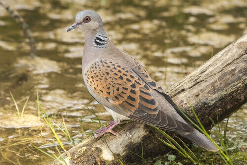 How Many Turtle Dove Species Are There?
