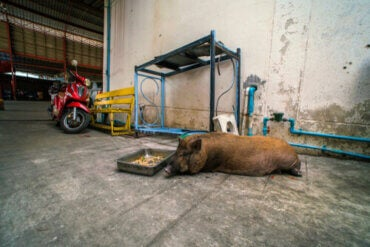 Animals and Cities: The Urban Wild Boar Problem