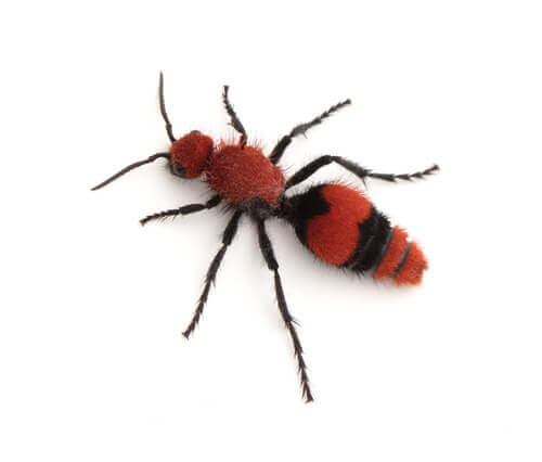 A velvet ant.