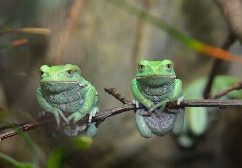 Waxy monkey tree frogs live in trees.
