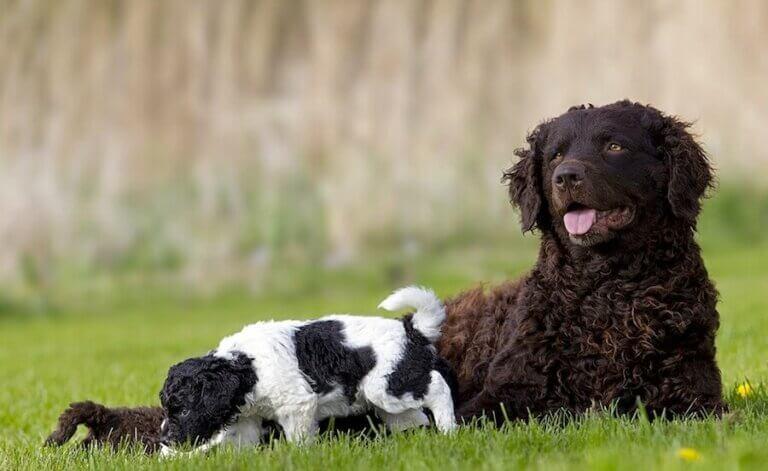 Meet the Wetterhoun: The Frisian Water Dog
