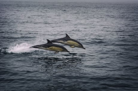 White sided dolphin.