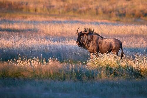 A wildebeest roaming a plain.