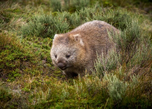 The wombat is a marsupial from the Australian fauna.