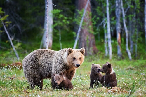 A family of grizzly bears.