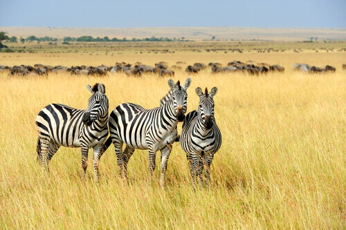 Today's Question: Why Is a Zebra's Skin Striped?