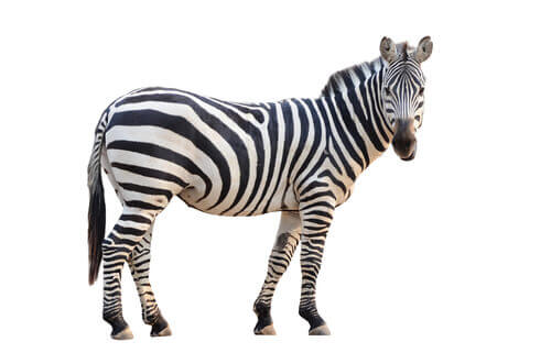 A picture of a standing zebra.