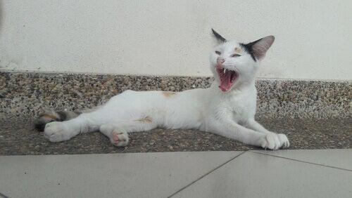 A cat yawning.