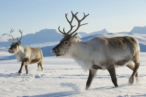 A couple of reindeer.