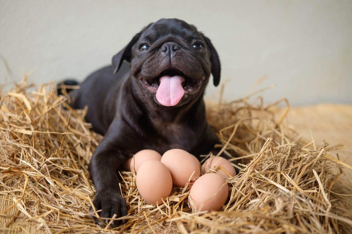 A dog sitting on straw in front of some eggs.