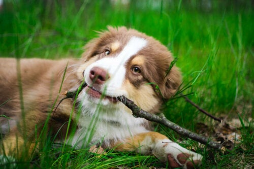 A puppy playing with a stick.