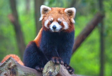 Is the Red or Lesser Panda a Bear or a Raccoon?