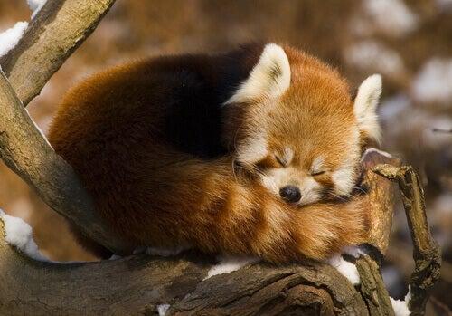 A red panda sleeping.