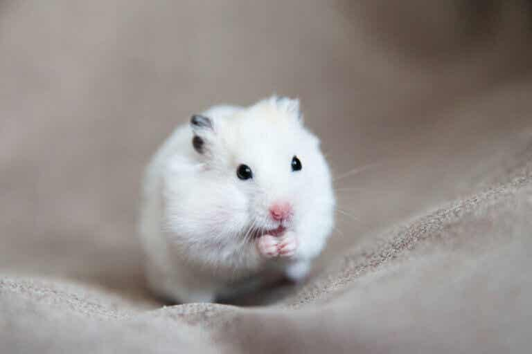 Causes, Symptoms and Treatments of Tumors in Hamsters