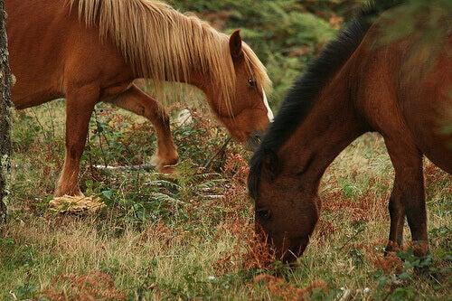 Horses eating grass.
