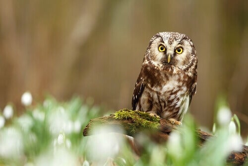 The boreal owl perched on a mossy log.