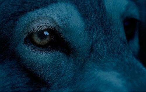 Close up of a blue dog.