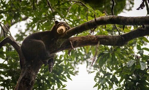 A bear sleeping in a tree.