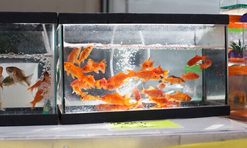 Goldfish swimming in a tank at a pet shop.