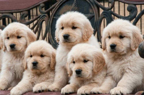 Five retriever puppies.