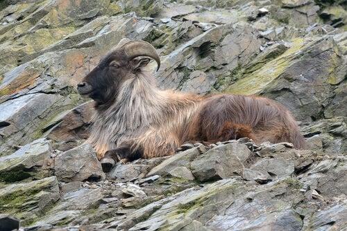 A tahr lying among the rocks of the Himalayan mountains.