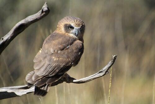 A morepork owl.