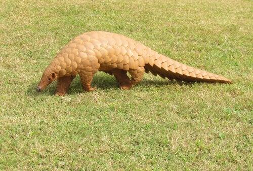 A pangolin walking in the grass.