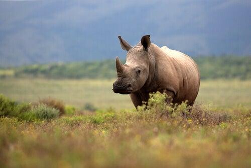 A rhinoceros in a field.