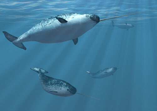 A few narwhals swimming.