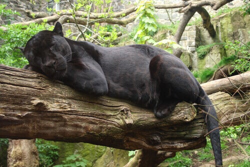 Bagheera from The Jungle Book.