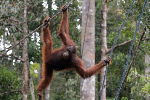 An ape on a tree.