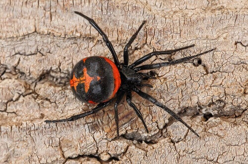 A black widow spider on a tree.