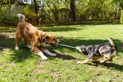 Animal intelligence test: two dogs pulling on a rope.