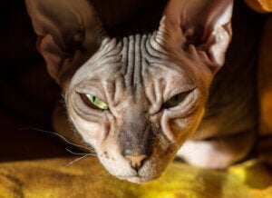 The Donskoy Cat: Bald, Affectionate, and Intelligent