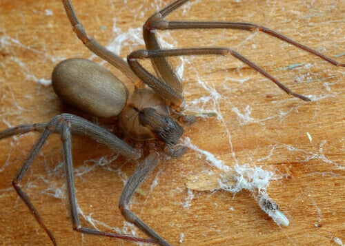 The most venomous spiders: a brown recluse spider on a floor.
