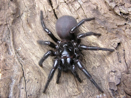 A funnel-web spider on a log.