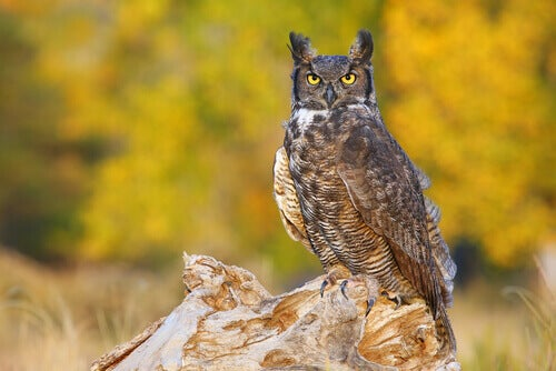 Meet the great horned owl.