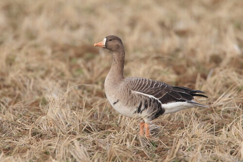 Species of geese: a greater white-fronted goose