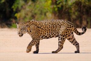 A jaguar walking on sand.