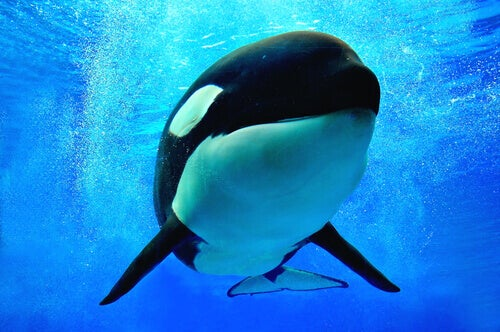 Why Are Killer Whales Known by this Name?