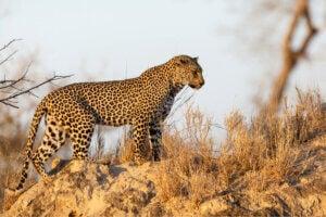 A leopard stalking its prey.