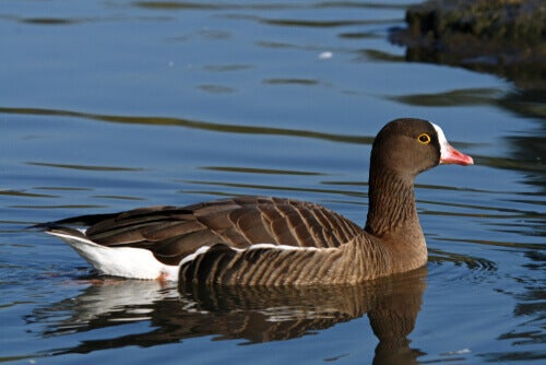 A lesser-white-fronted-goose on a pond.