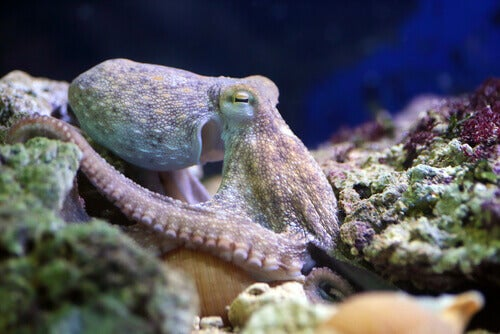 An octopus in the sea.