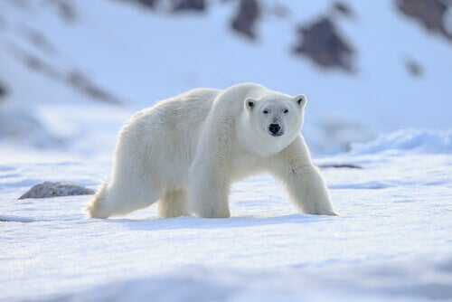 Polar Animals: Perfectly Adapted to the Cold