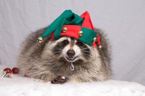 A raccoon as a pet.