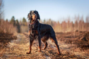 Gordon Setter: The Most Beautiful Pointing Dog